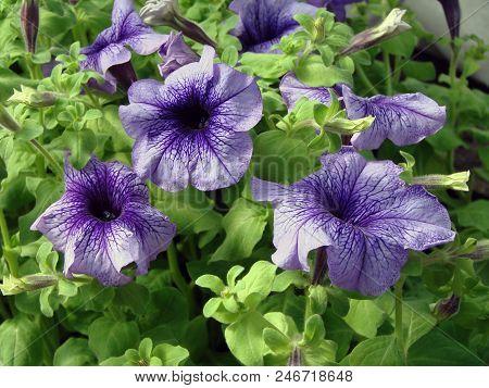 Flowers Petunia Of The Garden, Siberia, Omsk Region, Russia