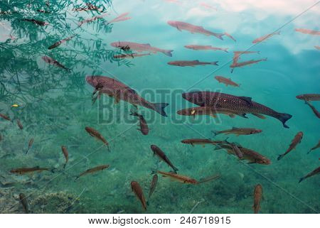 Fish In The Clear Water Of The Plitvice Lakes. Croatia
