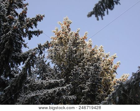 Cones On The Pine, Siberia, Omsk Region, Russia