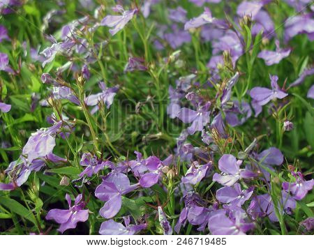 Violet Flowers In The Garden. Omsk Region Russia
