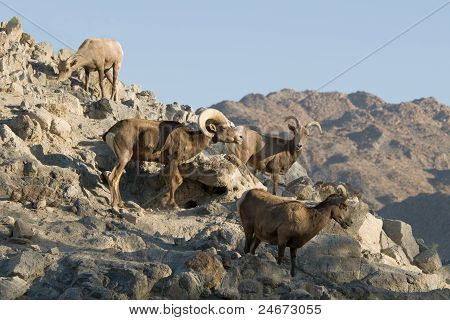 Desert Bighorn Sheep Flock