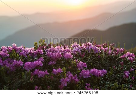 Pink Rhododendrons Flowers (rhododendron Myrtifoliumkotschyi Or Kotschyi) Against Sunlit Mountains S