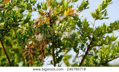Myrtus Myrtle - Plantae Angiosperms Eudicots Rosids Myrtales Myrtaceae.