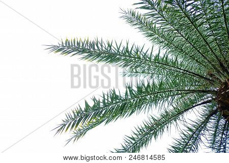 Cycad Palm Leaves With Branches On White Isolated Background For Green Foliage Backdrop
