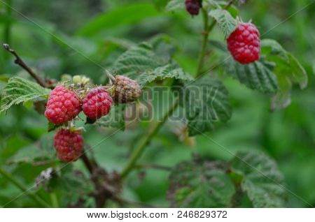 View Of Summer Fruits, Raspberries, Southern Bohemia , Czech Republic