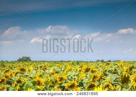 Fine Sunny Weather With Some Clouds On A Blue Sky And A Sunflower Field. Beautiful Agricultural Back