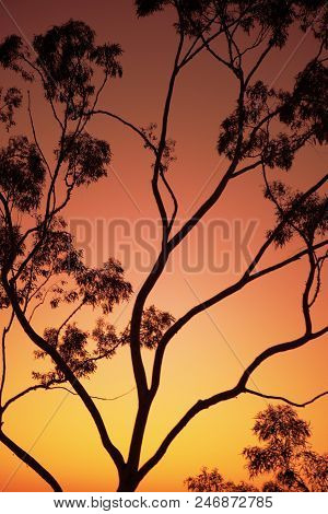 Tree Silhouette At Dusk In Ipswich, Queensland
