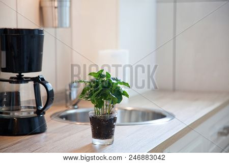 coffee plant in a pot on kitchen worktop