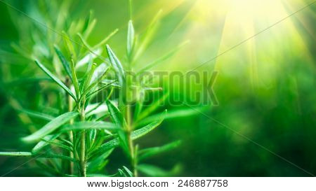 Fresh Rosemary Herb grow outdoor. Rosemary leaves Close-up. Fresh Organic flavoring plants growing. Seasonings, Nature healthy flavoring, cooking. Ingredients for food