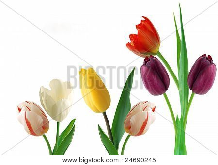 color tulip on white isolated background