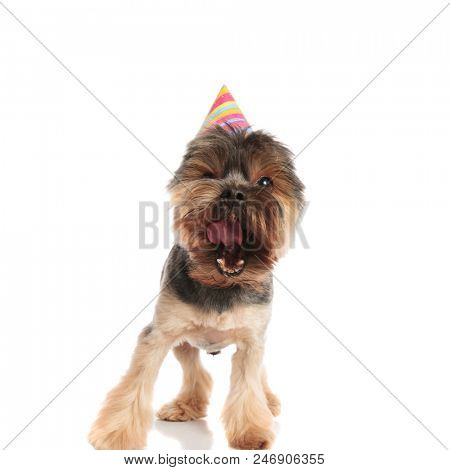 cute barking yorkie with birthday cap standing on white background poster
