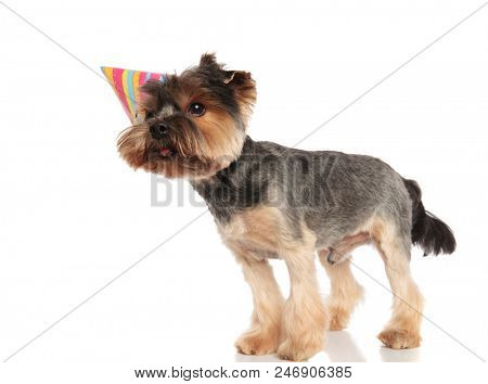 side view of cute birthday yorkshire terrier looking to side while standing on white background