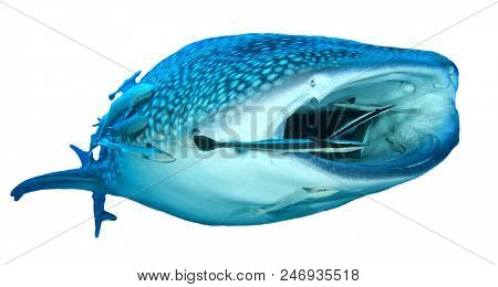 Whale Shark isolated on white background
