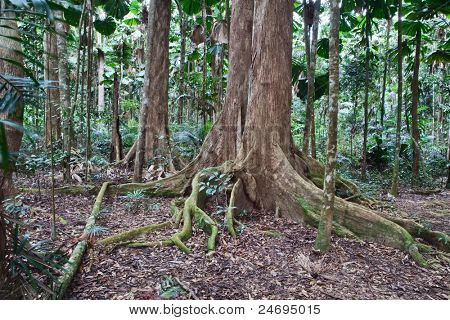 majestic tree trunks and roots in primary rain forest Australia Daintree nature reserve needs protection and conservation ancient tropical jungle poster