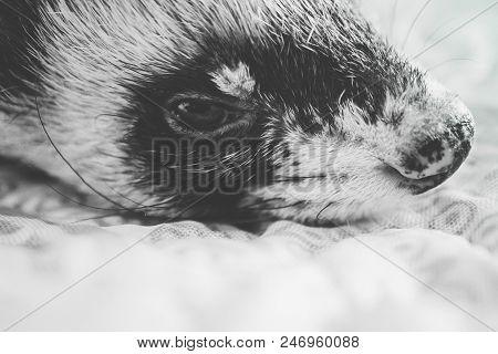Domestic Ferret Portrait. A Polecat Pet Eye Close Up. Black And White.