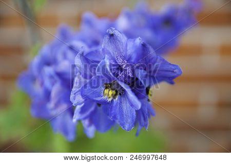 Delphinium Flower Favorite Plant In The Garden