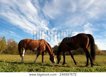Horse On Swedish Nature. Two Brown Horses