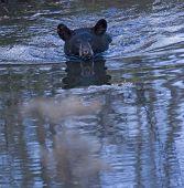 Black bear cub swimming across a pond toward photographer poster