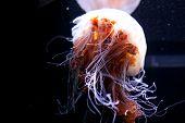 jelly fish Beautiful jellyfish, medusa in the neon light. Aquarium with vivid jellyfish. Underwater life in ocean jellyfish. poster