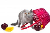 Studio portrait of cute young British blue cat playing near pink basket on isolated white background poster