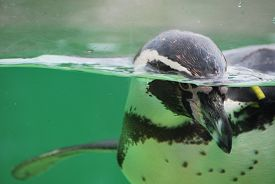 Penguin Swimming In Blue-green Water Behind Glass.