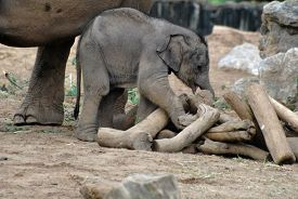 Elephant Calf Plays With Logs With Adult In Background.