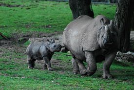 Greater One-horned Rhino (rhinoceros Unicornis) Calf In Grassy Enclosure With Its Mother.