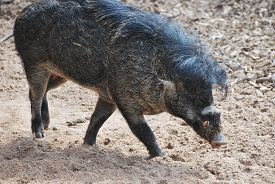Visayan Warty Pig (sus Cebifrons Negrinus) On A Dull Earth Background.