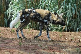 African Wild Dog (lycaon Pictus), Also Known As African Hunting Dog, African Painted Dog, Painted Hu