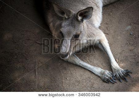 Portrait Of Resting Kangaroo In Queensland Australia