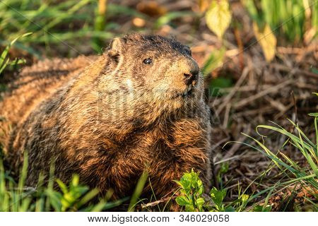 Watchful Groundhog (marmota Marmox) Stays Very Still As He Watches For Danger.