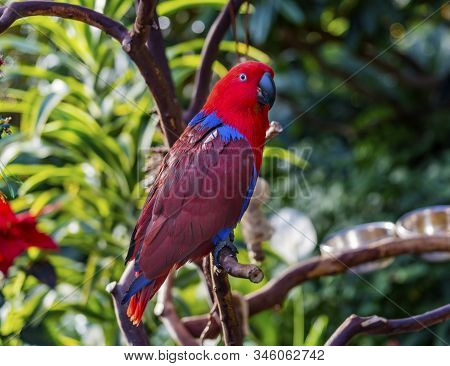 Red Blue Female Eclectus Parrot Close Up Native To Solomon Islands, New Guinea