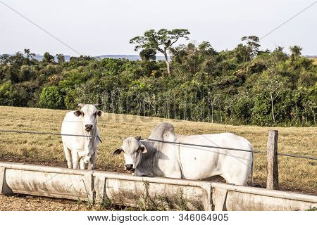 Nelore Cattle Eating On Eater With Dry Pasture Backgroung In Brazil