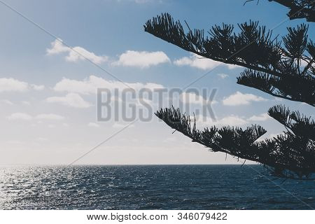 Norfolk Island Pine Trees Shot In Western Australia In Summer With Blue Sky And Contrasty Blue Hour