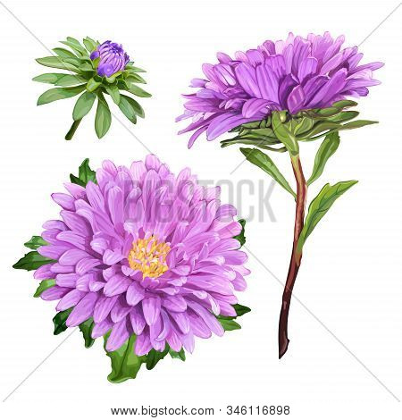 Set Of Three Beautiful Summer Flowers Of Violet Aster Isolated On White Background For Luxury Floral