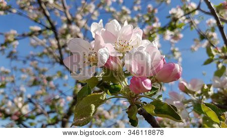 Beautiful Blooming Cherry Tree Branches With Blue Sky Background. Lush White Cherry Blossoms With Pi