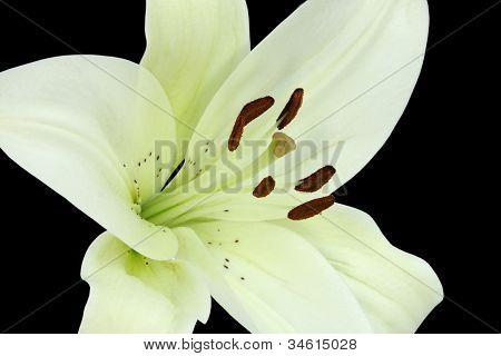 Closeup of beautiful Madonna Lily