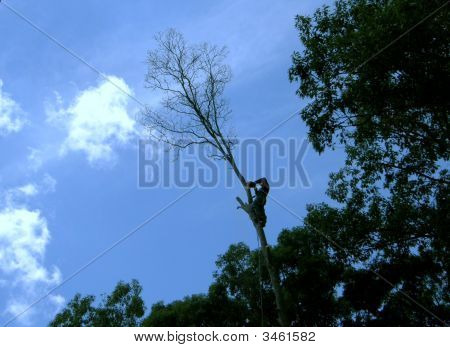 Climbing Tree Top Guy Landscaper Tree Trimmer