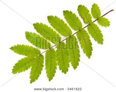 Wild Ash Leaf