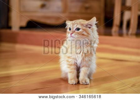 Kitty Portrait On Wooden Background. Kitty Young Pet