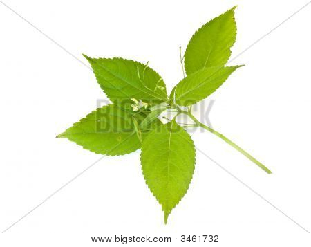 Green Leaf Against White Background