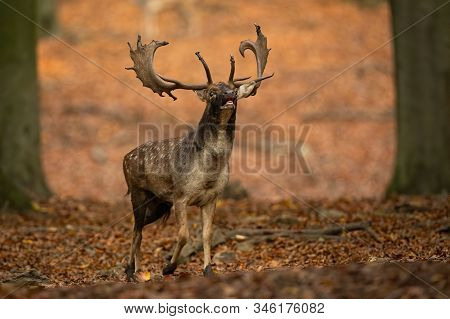 Powerful Fallow Deer Stag Roaring In Autumn Forest