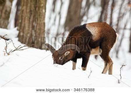 Mouflon Ram Feeding With Head Down In Snow Standing In Forest In Wintertime.