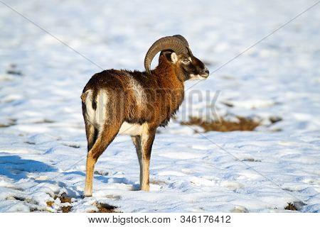 Attentive Mouflon Ram Standing On Snow In Winter Looking Aside