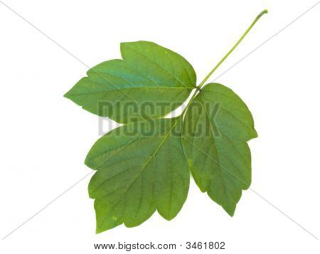 Green Leaf At White Table