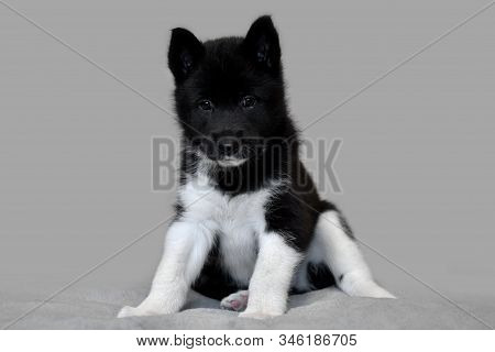 Puppy Whelp Black And White Color. Northern Dog Breed Russian-european Laika.