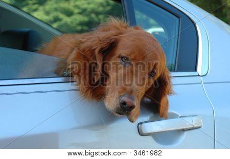 Golden Retriever In Car Window
