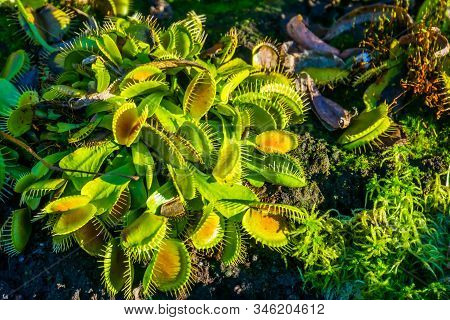 Wacky Traps A Popular Dutch Cultivar Specie Of The Venus Flytrap, Tropical Carnivorous Plant Specie