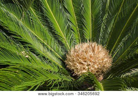 Female Cycad Sago Palm, Cycas Revoluta, Also Known As King Sago And Japanese Sago Palm