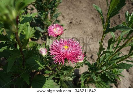 Pair Of Cerise Pink Flower Heads Of China Aster
